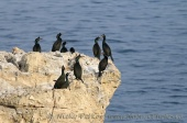 Снимки на Качулат корморан, Phalacrocorax aristotelis
